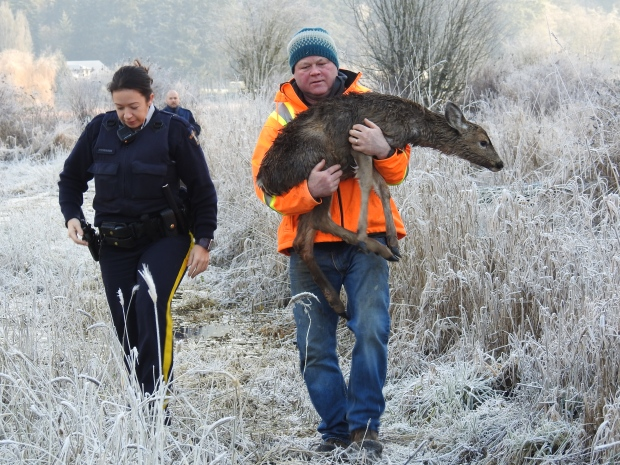 A Duncan, B.C. couple stumbled upon a young deer apparently trapped in an icy pond on New Year's Eve. With the help of police and a conservation officer, they launched a successful rescue effort with a happy ending. Dec. 31, 2015. (Courtesy Gary and Sheila Kerr)