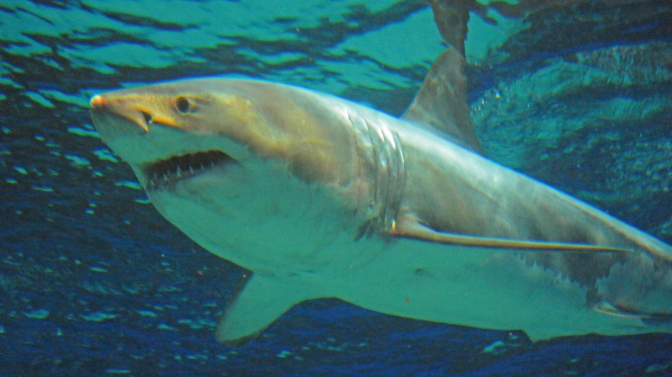 Great White Shark in captivity