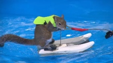 'Twiggy' the waterskiing squirrel