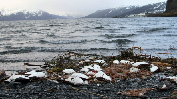 Common murres mysteriously dying in Alaska