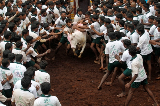 Bull fighting in India