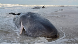 In this image released on Wednesday Jan. 13, 2016, by Ecomare nature museum, seal sanctuary, sea aquarium and a bird sanctuary, five sperm whales that beached on the Dutch island of Texel, northern Netherlands, have died. (Salko de Wolf, Ecomare via AP)