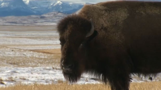 A bison that appeared in the film The Revenant stands in front of the Rocky Mountains near Longview, Alberta