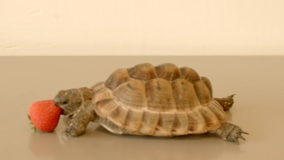 A tortoise can be seen eating a strawberry in this video, narrated by Alan Rickman. (OneClickGiving / YouTube)
