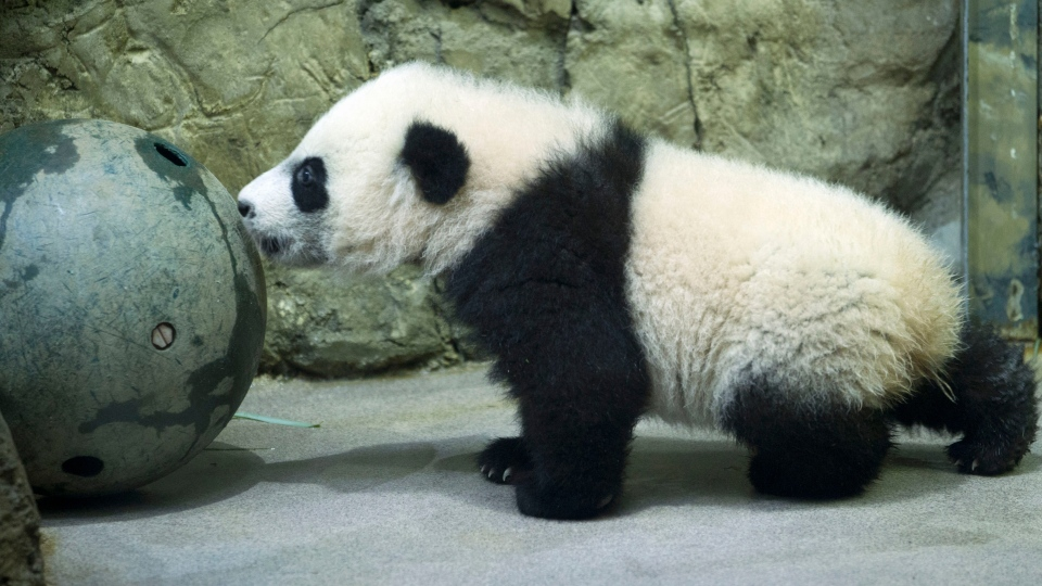 Bei Bei, born Aug. 22, made his public debut Saturday, though zoo members have been able to see him since Jan. 8. (AP Photo / Jose Luis Magana)