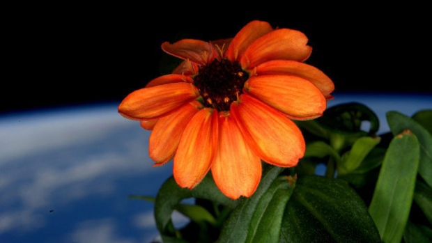 Zinnia flower in bloom aboard the ISS