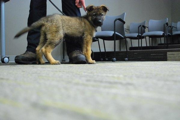 RCMP puppy