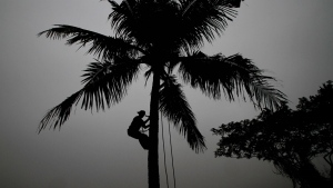 A villager climbs down from a coconut tree after picking up fresh coconut on a cold foggy morning in the outskirts of the eastern Indian city of Bhubaneswar, India on Jan. 5, 2016. (AP / Biswaranjan Rout)