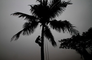 In this Jan. 5, 2016 file photo, a villager climbs down from a coconut tree after picking up fresh coconut on a cold foggy morning in the outskirts of the eastern Indian city of Bhubaneswar, India.  (AP Photo/Biswaranjan Rout)
