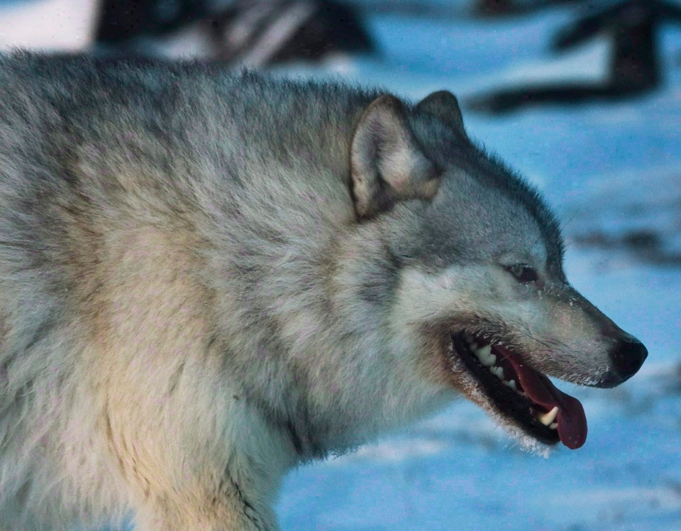 A male wolf roams the tundra near The Meadowbank Gold Mine located Nunavut on Wednesday, March 25, 2009. (Nathan Denette / THE CANADIAN PRESS)