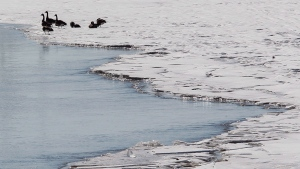 FILE -- Canada geese sit on the edge of a large sheet of ice on the Red River just south of Winnipeg, Thursday, April 17, 2014. (THE CANADIAN PRESS/John Woods)