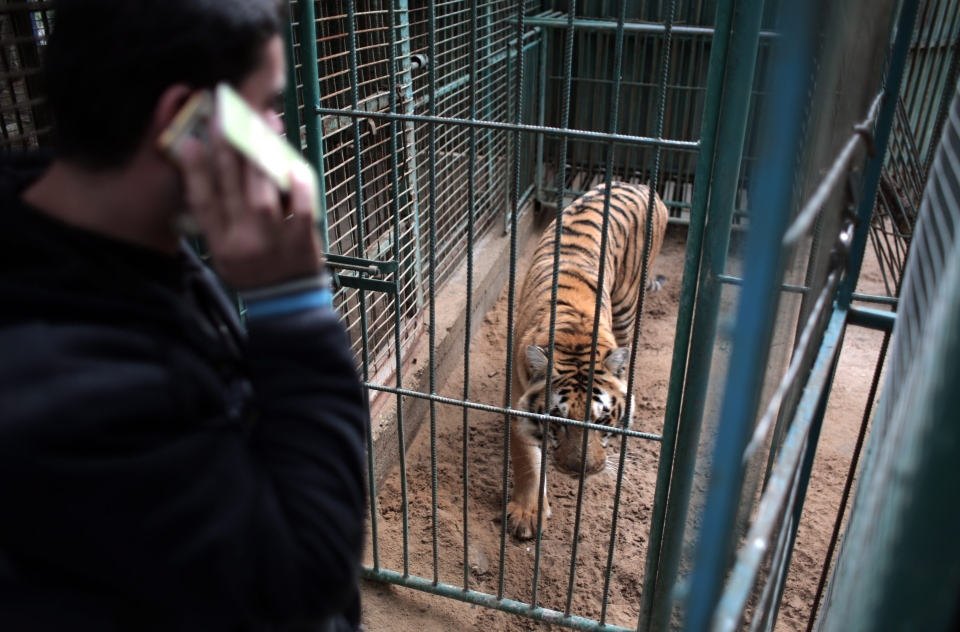 In this Sunday, Jan 10, 2016 photo, Palestinian owner of the South Jungle Zoo, Mohammed Ouida, stands in front of the cage of the African tiger, in Rafah, southern Gaza Strip. (AP Photo/ Khalil Hamra)