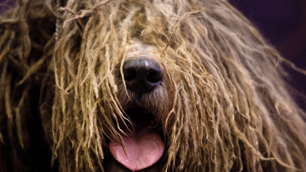 Check out the bumper crop of seven new dog breeds who will get a shot at being best in show at the Westminster Kennel Club competition next month.  <br><br> A Bergamasco is introduced at a news conference, Thursday, Jan. 21, 2016 in New York as one of seven breeds which will compete for the first time at next month&#39;s Westminster Kennel Club Dog Show. (AP Photo/Mark Lennihan)