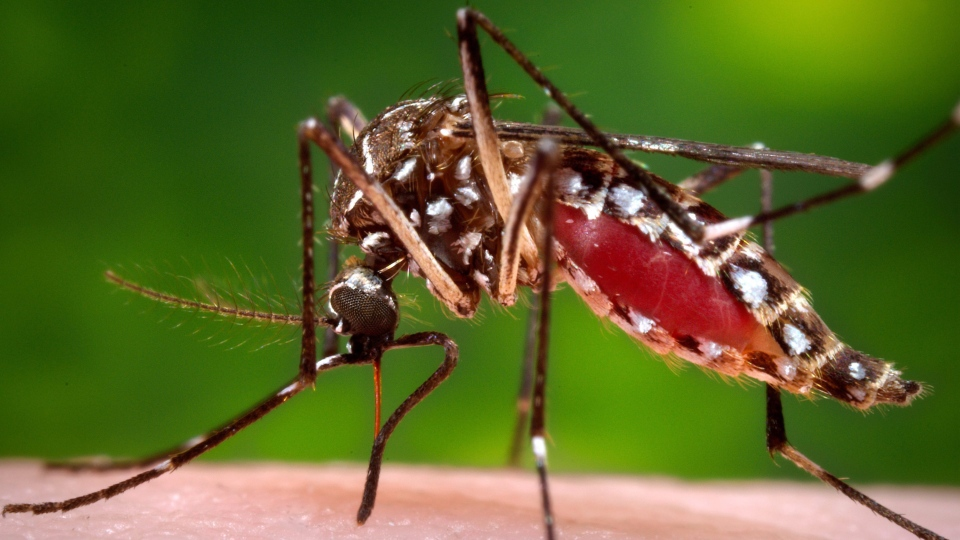 This 2006 photo provided by the Centers for Disease Control and Prevention shows a female Aedes aegypti mosquito in the process of acquiring a blood meal from a human host. (James Gathany / Centers for Disease Control and Prevention via AP)