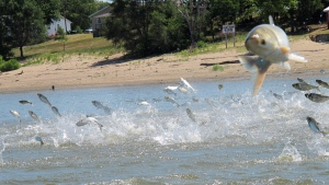 In this June 13, 2012 file photo, Asian carp, jolted by an electric current from a research boat, jump from the Illinois River near Havana, Ill. (AP Photo/John Flesher)
