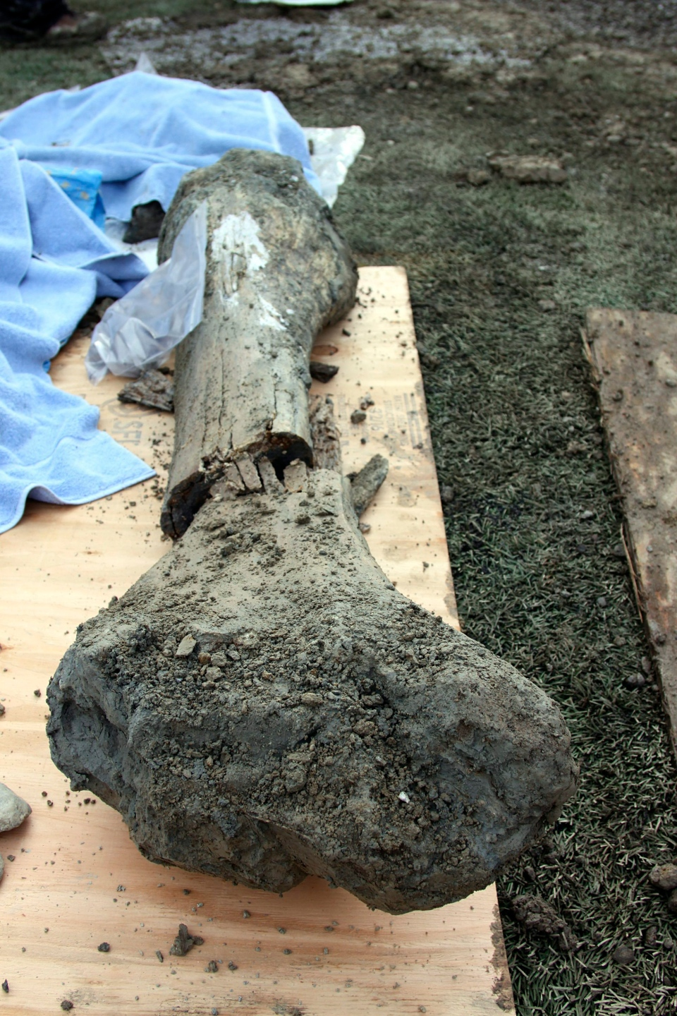 In this Jan. 26, 2016 photo provided by Oregon State University, is the femur of a mammoth found at an OSU construction site by a football field in Corvallis, Ore. (Theresa Hogue / Oregon State University)