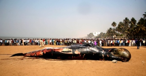 Indians gather around to watch a carcass of a Bryde whale at the Juhu beach, in Mumbai, India, Friday, Jan 29, 2016. (AP / Rajanish Kakade)