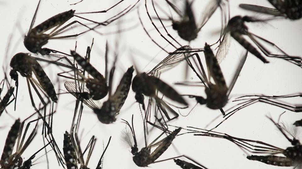 Aedes aegypti mosquitoes sit in a petri dish at the Fiocruz institute in Recife, Pernambuco state, Brazil, Wednesday, Jan. 27, 2016. (AP / Felipe Dana)