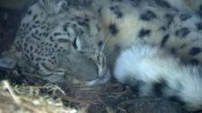 Leika - Calgary Zoo snow leopard