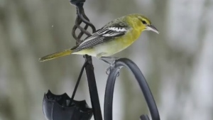 A Bullock's oriole is making himself at home in Cape Breton, half a continent away from its native Mexico and western United States.