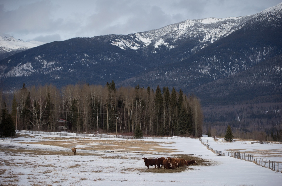 Cattle huddle together on a ranch in the Robson Valley below Mount Monroe near McBride, B.C., on Saturday January 30, 2016. (Darryl Dyck / THE CANADIAN PRESS)