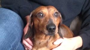 Peanut the dachshund