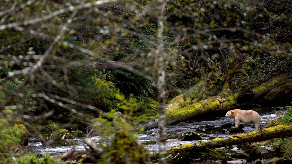 'Spirit Bear' in the Great Bear Rainforest