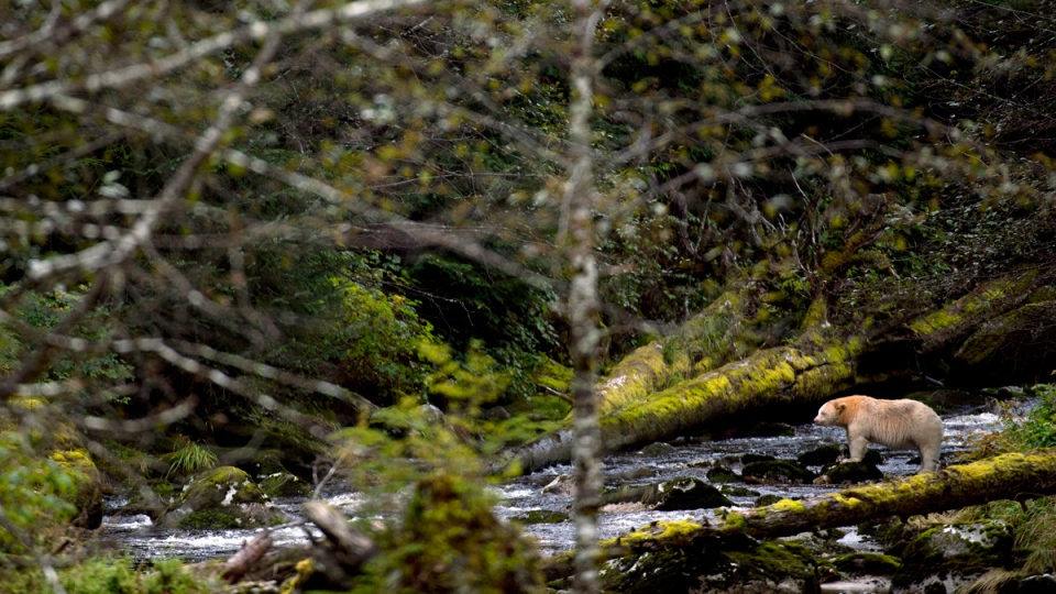 A Kermode bear fishing in the Riordan River on Gribbell Island in the Great Bear Rainforest, B.C., on Sept, 18, 2013. (Jonathan Hayward / THE CANADIAN PRESS)