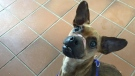 Justice the dog, who was found with his muzzle, neck and paws bound with tape, is seen in this photo posted to the Windsor and Essex County Humane Society's Facebook page on Jan. 10, 2016.