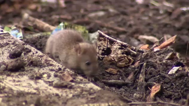 Rats are making themselves at home in north-end Moncton.