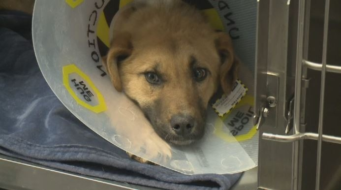 A dog that was found with an arrow struck through its back is expected to make a full recovery.