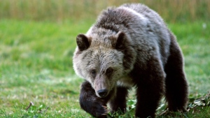 A grizzly bear cub forages for food near Yellowstone National Park in Gardiner, Mont., on Sept. 25, 2013. (Alan Rogers/AP Photo/Casper Star-Tribune via AP)