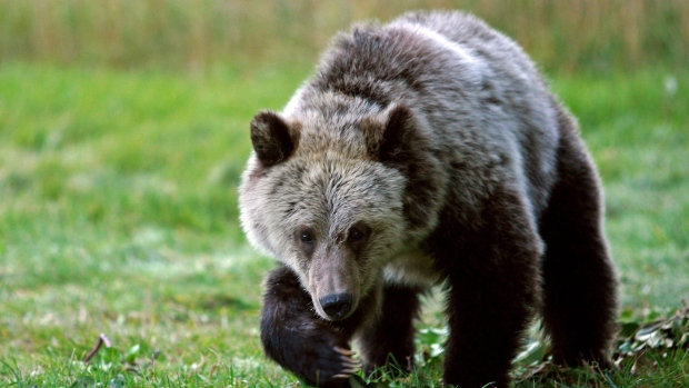 Grizzly cub in Yellowstone