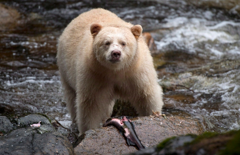 A Kermode bear, better known as the Spirit Bear is seen fishing in the Riordan River on Gribbell Island in the Great Bear Rainforest, B.C. Wednesday, Sept, 18, 2013. (THE CANADIAN PRESS/Jonathan Hayward)