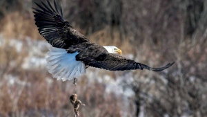 Residents of a Newfoundland town are hoping a majestic bald eagle flying around with one claw snagged in a trap can be helped, but so far it has only been caught on camera. An expert in wildlife rescues says a bald eagle spotted flying in eastern Newfoundland with a leg-hold trap on one of its talons is unlikely to survive unless the device is soon removed. (Harry White / Handout)