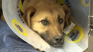 A stray dog that was found with an arrow pierced in its back has been given a second shot at life and a new name -- Arrow.