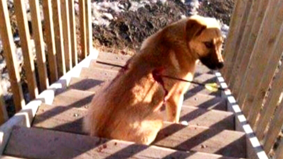 A woman living in rural Saskatchewan found the injured dog last Sunday after it turned up on her front step.
