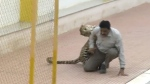 In this image made from video, a leopard attacks a man at a school in Bangalore, India on Feb. 7, 2016. (AP / APTN)