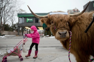 Olivia Nason, 7, poses for photographs with Bleu the steer to promote New Hampshire agriculture and Democratic presidential candidate, Sen. Bernie Sanders, I-Vt. Monday, Feb. 8, 2016, in Manchester, N.H. (AP Photo/Matt Rourke)