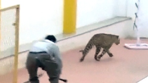 CTV News Channel: Wild leopard on the loose