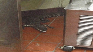 This Oct. 12, 2015 photo provided by the Florida Fish and Wildlife Conservation Commission to AP shows an alligator in the kitchen of a Wendy's Restaurant in Loxahatchee, Fla.