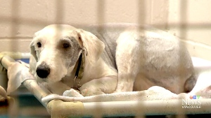 CTV Vancouver: Dogs found horrifically injured