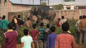 People watch a wild elephant that strayed into the town of Siliguri in West Bengal state, India on Wednesday, Feb. 10, 2016. (AP)