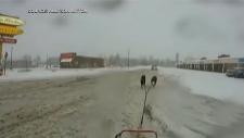 Dog sled trip to Tim Hortons