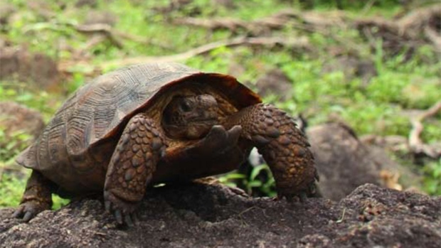 Goode's Thornscrub Tortoise