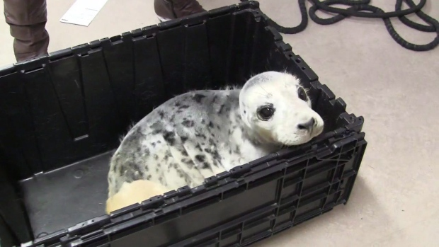 Injured seal pup