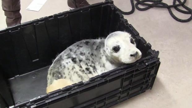 Injured seal pup