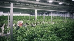 Production staff tending to plants at Tweed Marijuana Inc.'s Smiths Falls facility. (THE CANADIAN PRESS / HO - Tweed Marijuana Inc)