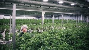 Production staff tending to plants at Tweed Marijuana Inc.'s Smiths Falls facility. (THE CANADIAN PRESS / HO - Tweed Marijuana Inc)