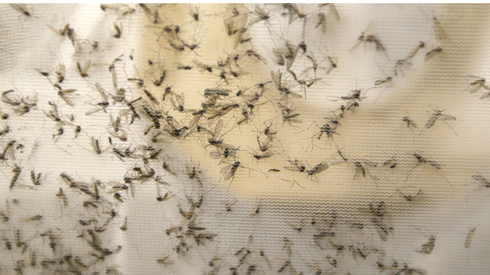A trap holds mosquitos at the Dallas County Mosquito Lab, Thursday, Feb. 11, 2016, in Hutchins, Texas, that had been set up near the location of a confirmed Zika virus infection.  (AP Photo / LM Otero)